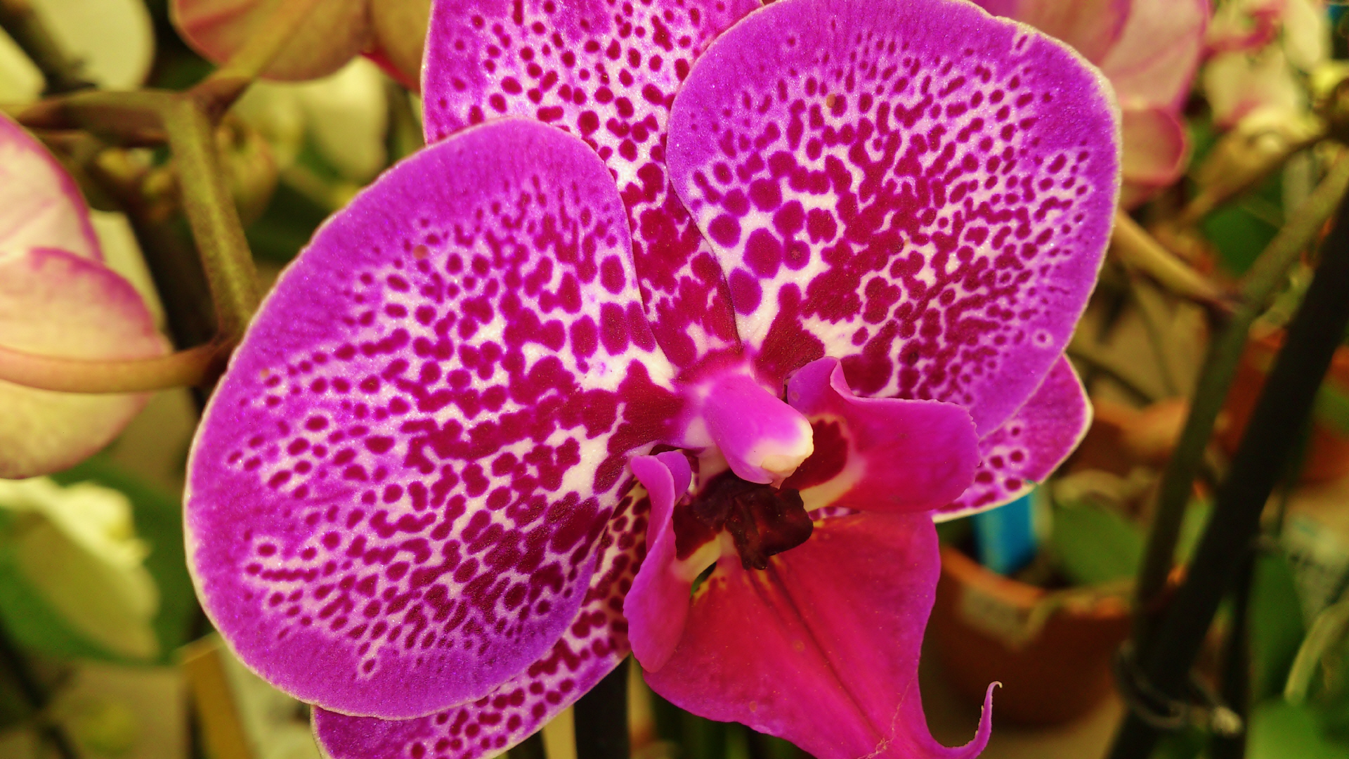 How To Repot Cymbidium Orchids together with Get Orchids To Bloom as well Orchids Phalaenopsis moreover Phalenopsis Orchid Spikes together with Watch. on orchid care after flowering